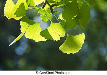 葉, ginko