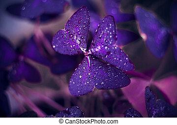 葉, oxalis, カバーされた, 露, 紫色