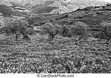 葡萄園, 以及, 橄欖, 小樹林