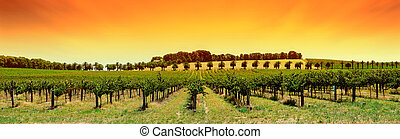 葡萄園, 全景, 傍晚
