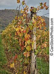 葡萄園, 在, 秋天