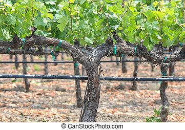 葡萄園, 春天, 葡萄, 葡萄樹, 在期間