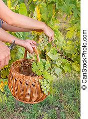 葡萄園, 籃子, 夫婦, 葡萄, 採摘