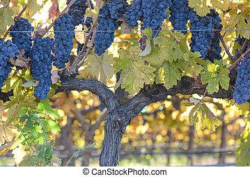 葡萄樹, 葡萄