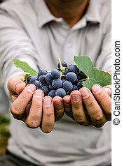 葡萄, 收穫, 在, 秋天