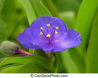 蓝色, 美丽, 花