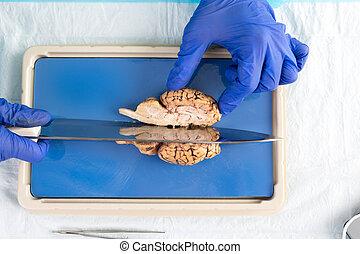 薄く切ること, 脳, 学生, 牛, 実験室