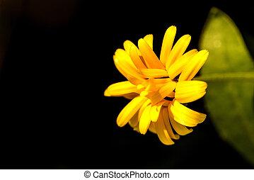 薬効がある 植物, 花, calendula