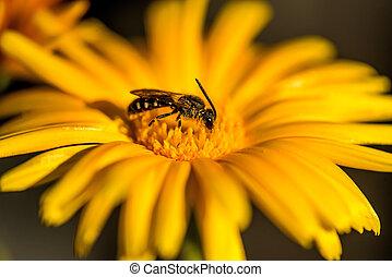 薬効がある 植物, 花, calendula, 蜂