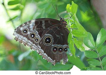 藍的morpho蝴蝶