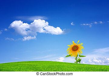 藍色的天空, 向日葵, 針對