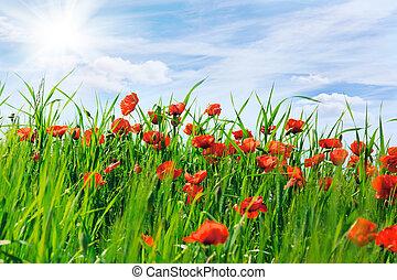 藍色, 云霧, 開花, 天空領域, 罌粟, 白色