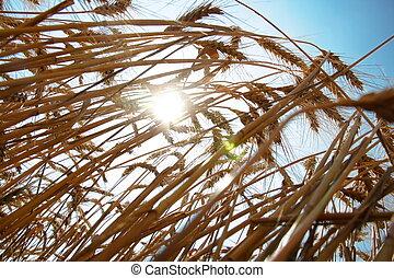 藍色, 小麥, 天空, 成熟, 針對