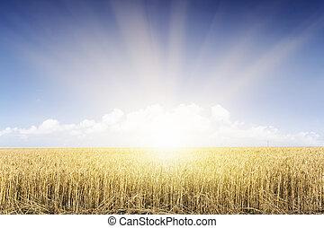 藍色, 小麥, 天空, 領域, 在下面, sunset.
