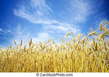 藍色, 小麥, 成熟, 天空, 針對, 背景, 黃金