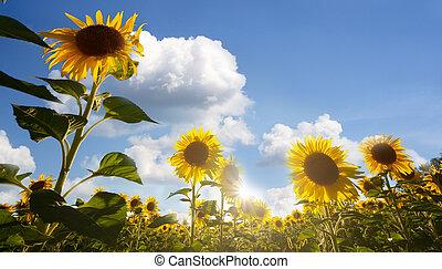 藍色, 底部, 太陽, 開花, 天空, 云霧, 針對, 向日葵, 白色, 看法