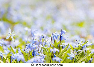 藍色, 春天花, glory-of-the-snow