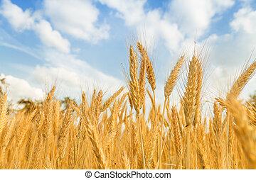 藍色, 黃金, 小麥, 天空領域, 背景