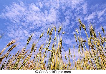 藍色, 黃金, 小麥, 天空, 被隔离, 領域