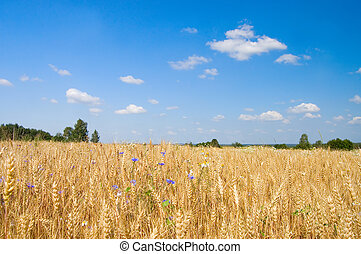 藍色, 黑麥, 天空, 針對, 成熟