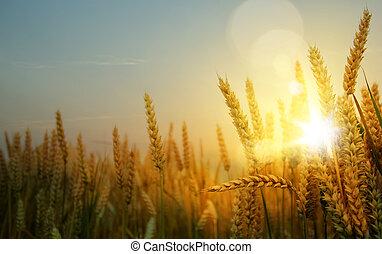 藝術, 黃的領域, 成熟, 小麥, 背景, 耳朵