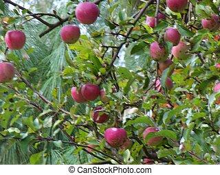 蘋果, 上, 蘋果
