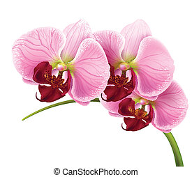 蘭, 花, ブランチ, ベクトル, 隔離された, 背景