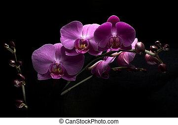 蘭, phalaenopsis