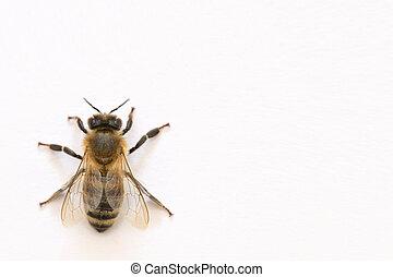 蜂, 白, isoalted, 背景