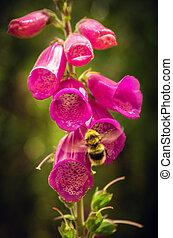 蜜蜂, 在, 花