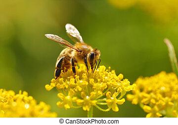 蜜蜂, 收穫, 花粉, 從, 開花, 花