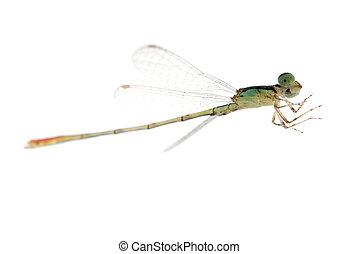 蜻蜓, damselfly