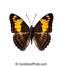 蝴蝶, 定义, 高, 白的背景