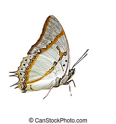 蝴蝶, 白色, 隔离, 背景