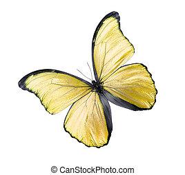 蝴蝶, 白色, 隔离, 黄色