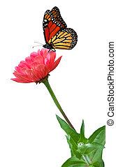 蝴蝶, 百日草