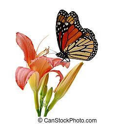 蝴蝶, daylily