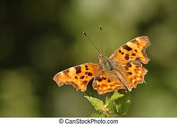 蝶, コンマ