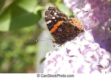 蝶, ライラック, 味が分かる