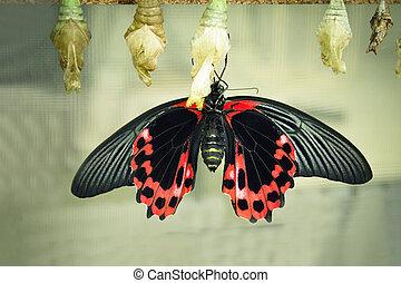 蝶, 下側, 黒, 翼, 赤