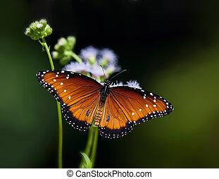 蝶, 女王, (danaus, gilippus)