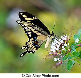 蝶, 巨大な swallowtail