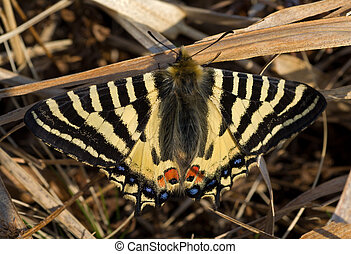 蝶, 早く, 2, 春