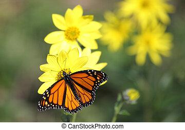 蝶, 森林地帯, ひまわり, 君主, (danaus, plexippus)