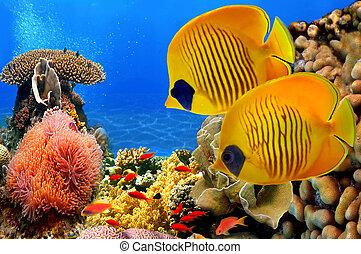蝶 魚, semilarvatus), (chaetodon, 覆われた, 砂洲, 珊瑚