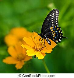 蝶, 黒, swallowtail