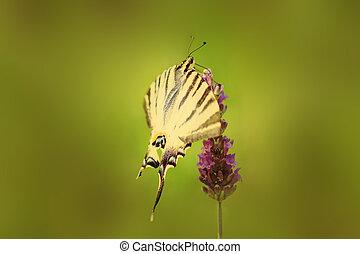 蝶, swallowtail