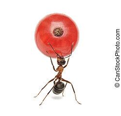 蟻, スグリ, 隔離された, 赤, 保有物