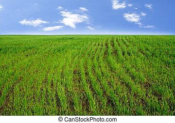 行, ......的, 小麥, 新芽, 上, the, 領域