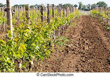 行, 葡萄, 是, 年輕, 葡萄樹, 葡萄園, 葡萄, planted., growing.